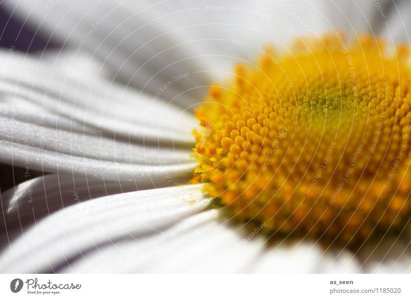 Mittendrin Natur Ferien & Urlaub & Reisen Pflanze schön Sommer weiß Blume ruhig Umwelt gelb Leben Blüte Gesundheit Garten Lifestyle Geburtstag