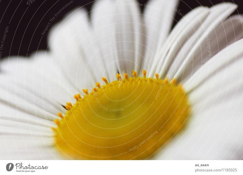 Into the sun Natur Pflanze schön Sommer weiß Sonne Blume ruhig gelb Leben Frühling Blüte Feste & Feiern Garten Lifestyle Mode