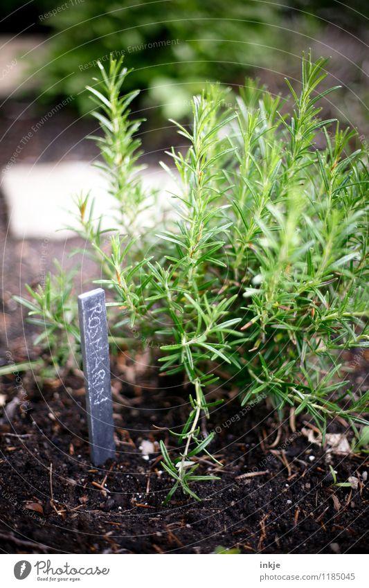Rosmarin Kräuter & Gewürze Ernährung Frühling Sommer Nutzpflanze Kräutergarten Garten Schriftzeichen Schilder & Markierungen frisch Gesundheit grün nachhaltig