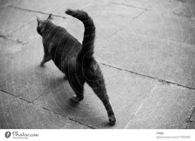 Katzenleben III Steinplatten Menschenleer Platz Tier Haustier 1 gehen grau Gefühle Stimmung Schwarzweißfoto Außenaufnahme Nahaufnahme Textfreiraum links