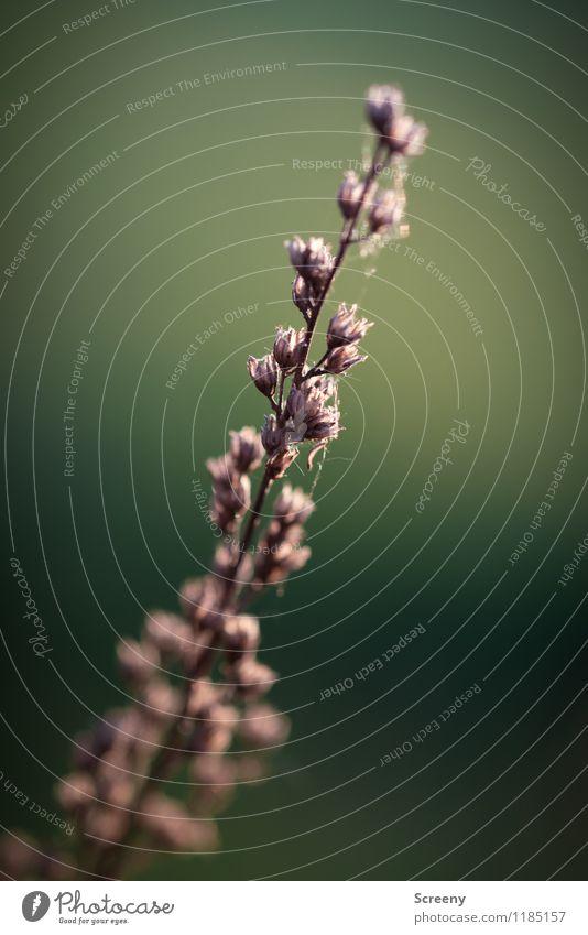 Vergänglich Natur Pflanze Sträucher Wiese Feld verblüht dehydrieren klein Verfall Vergänglichkeit Farbfoto Außenaufnahme Makroaufnahme Menschenleer Tag Abend