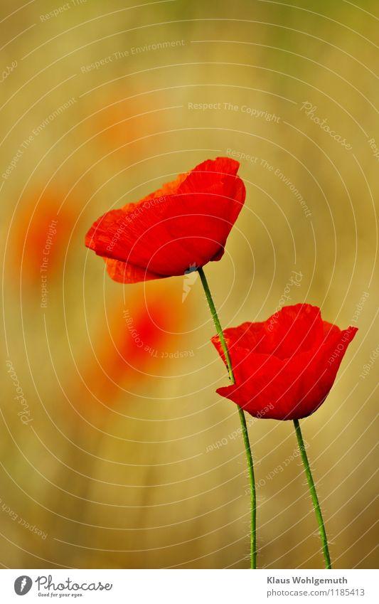 Augenweide Umwelt Natur Pflanze Frühling Sommer Blume Wildpflanze Klatschmohn Wiese Feld Blühend elegant Wärme gelb gold grün rot ruhig Farbfoto Außenaufnahme