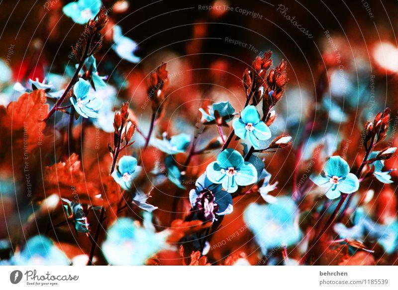 himmelblau Natur Pflanze Frühling Sommer Herbst Schönes Wetter Gras Blatt Blüte Wildpflanze Veronica Garten Park Wiese Feld Blühend verblüht Wachstum Duft schön