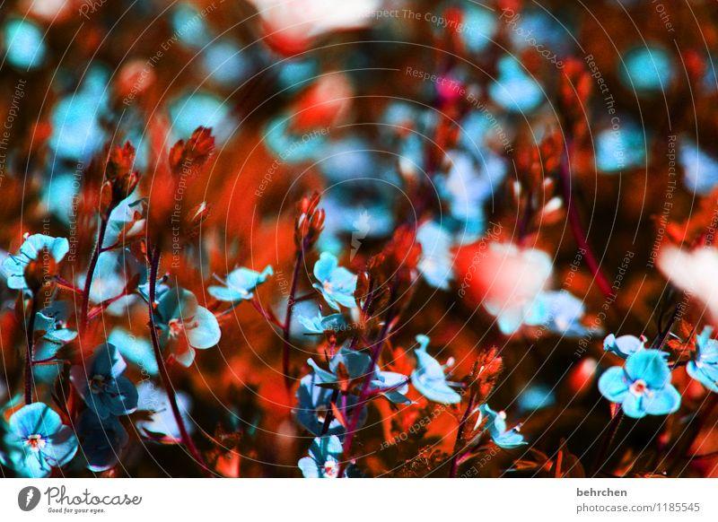 blauer traum Natur Pflanze Frühling Sommer Schönes Wetter Blume Gras Blatt Blüte Wildpflanze Veronica Garten Park Wiese Blühend Duft verblüht Wachstum frisch