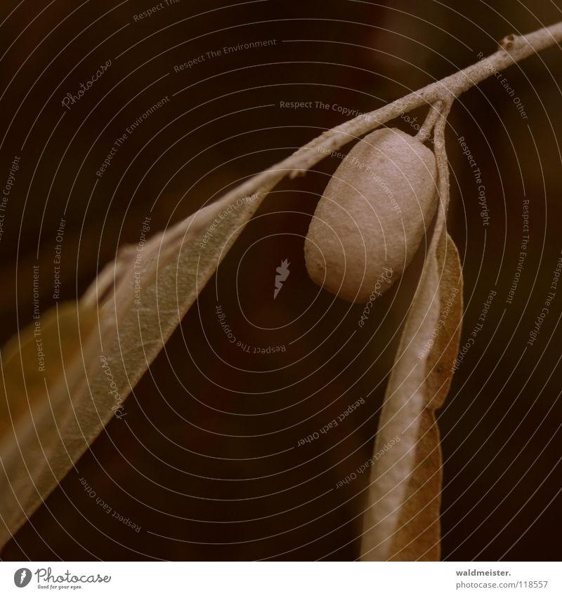 Zweig mit Beere Sträucher Blatt Samen Trauer Herbst grün braun Ast Zierstrauch Beeren Frucht verrückt Traurigkeit Tod Natur