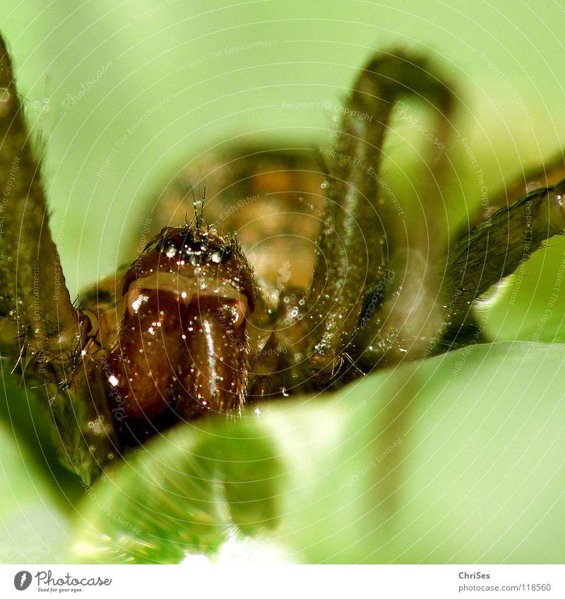 Einen schönen guten morgen : Blattspinne_02 Wasser grün Tier Angst Wassertropfen Netz Insekt Panik Spinne Spinnennetz Nordwalde gewebt