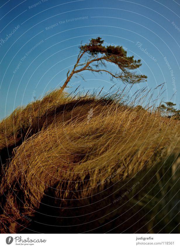 Windflüchter Gras Fischland-Darß-Zingst Weststrand Leidenschaft Waldrand schön Baumstamm grün Wiese Sturm Strand rau Umwelt Farbe Küste Kiefer Himmel Ostsee