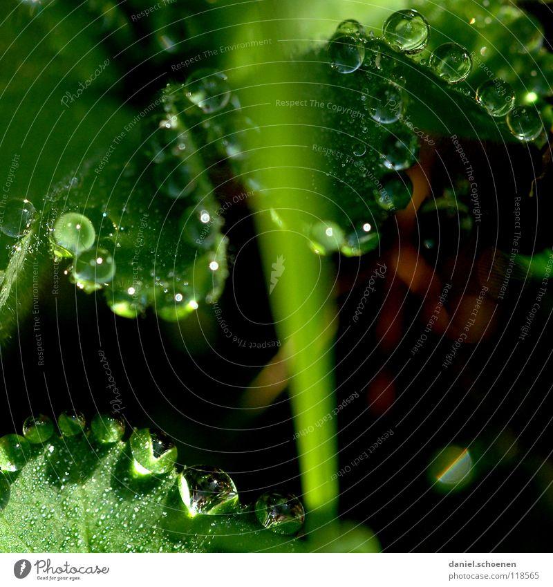 Tautropfen 3 Wassertropfen Klarheit frisch Sauberkeit rein Blatt grün glänzend Licht Morgen Gras durchsichtig Hintergrundbild Wiese Makroaufnahme Nahaufnahme