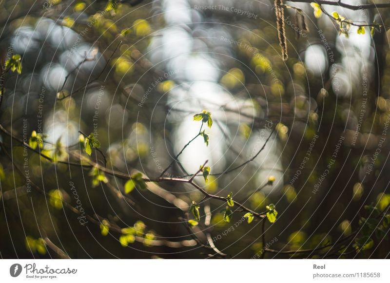 Frühling Natur Pflanze Urelemente Sommer Schönes Wetter Baum Sträucher Blatt Grünpflanze Wildpflanze Ast Zweige u. Äste Blätterdach Blütenknospen keimen