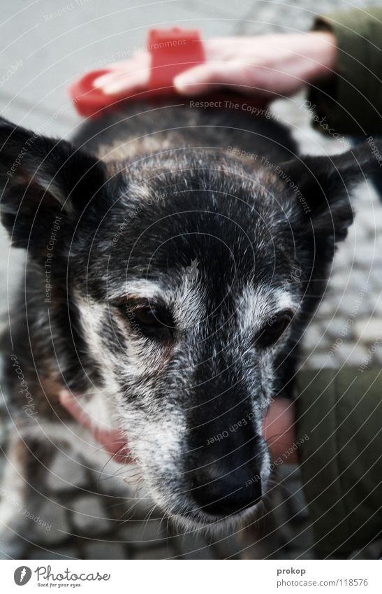 Altenpflege - 2 Hund Hand Körperpflege striegeln Fell Tier grau Frau Sorge Mischling kümmern Haustier grauhaarig pflegebedürftig Schwäche Trauer Sozialer Dienst