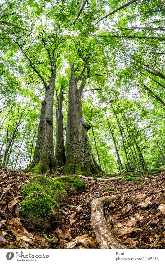 Buchen Natur Landschaft Pflanze Urelemente Erde Sommer Baum Moos Blatt Grünpflanze Wildpflanze Buchenwald Baumstamm gezeichnet alt Wald entdecken Wachstum wild