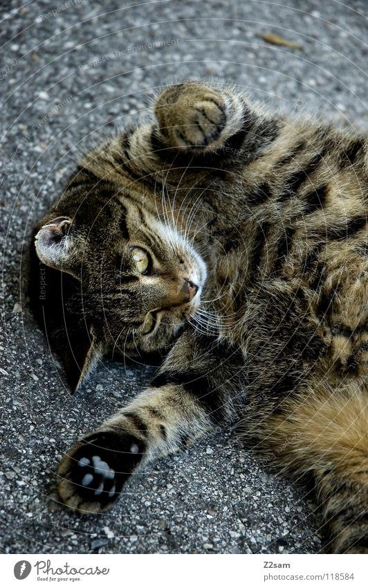 rockman stretching Katze Tier Liebe Straße Bewegung Beton liegen süß Häusliches Leben niedlich Fell Dame Riss Haustier Pfote Schwanz