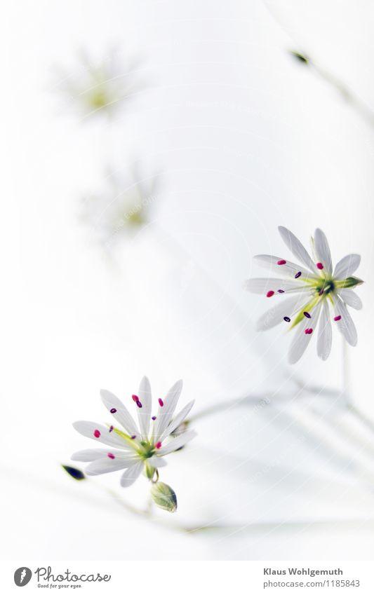Kleine Kostbarkeit 9 Umwelt Natur Pflanze Frühling Sommer Blume Wildpflanze Wiese Blühend braun grün rot weiß filigran Farbfoto Außenaufnahme Nahaufnahme