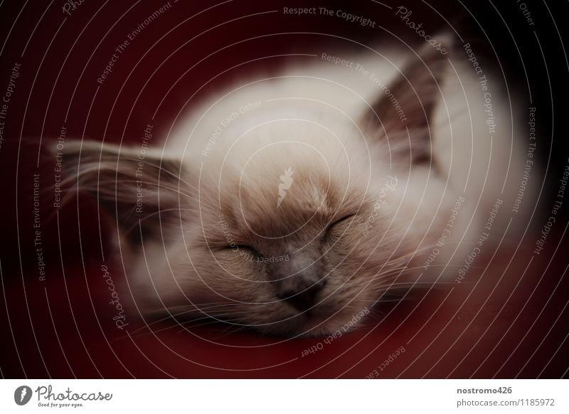 schlafendes ragdoll kaetzchen Tier Haustier Katze Tiergesicht 1 Tierjunges träumen schön klein niedlich weich braun weiß Vertrauen Warmherzigkeit friedlich