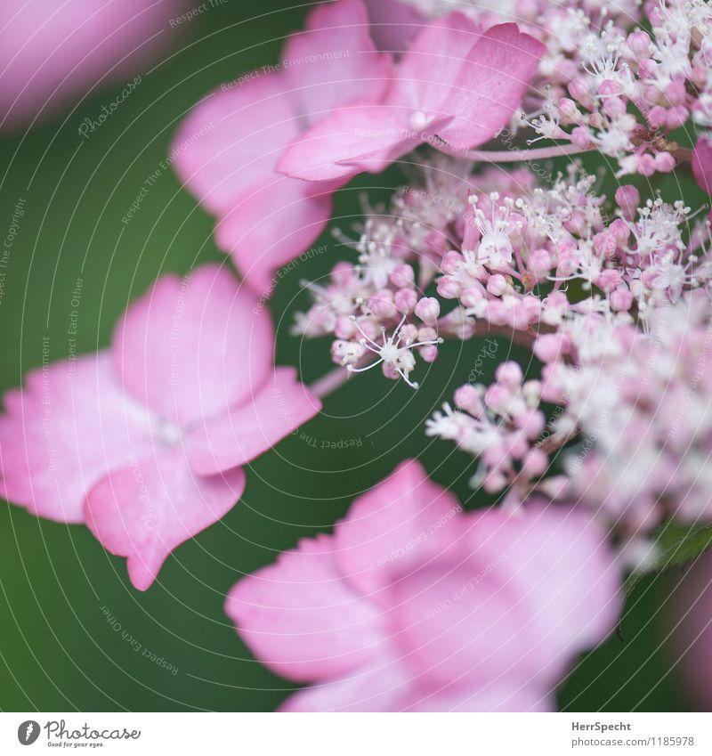 Blühling Natur Pflanze Frühling Blume Sträucher Blüte Grünpflanze ästhetisch frisch schön klein rosa winzig Blütenknospen Blütenblatt Blütenstempel