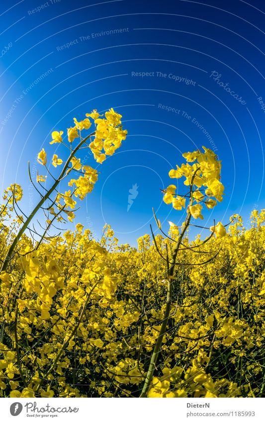 Himmelwärts Pflanze Wolkenloser Himmel Frühling Blüte Nutzpflanze Feld blau gelb grün Raps Rapsfeld Rapsblüte Rapsanbau Kontrast Farbkombination Farbfoto