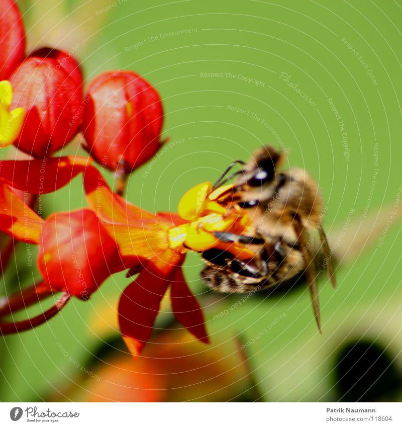 Das Honigkomplott . Blüte Blume Pollen Insekt Biene Wespen rot gelb grün nah Nahaufnahme Sammlung Stock Bienenstock Imker Pflanze Tier Sommer Frühling frisch