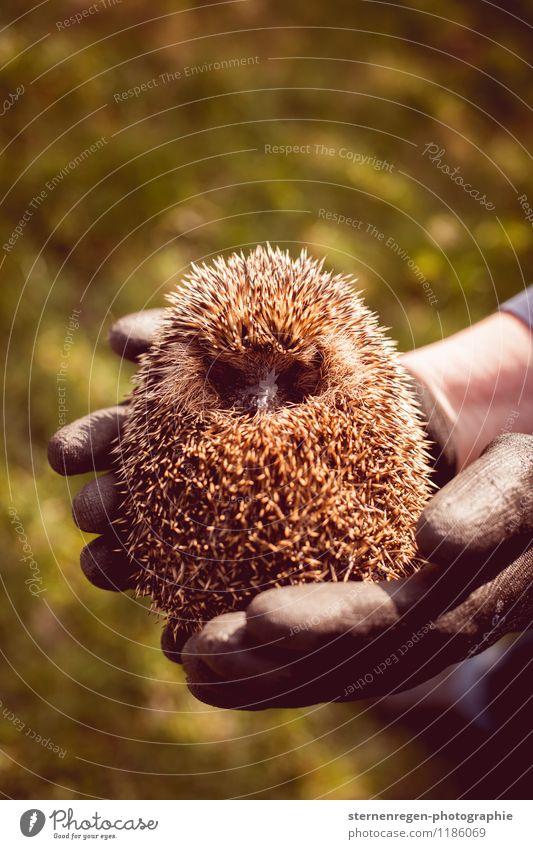 Igelkugel Wildtier 1 Tier wild kugelrund Herbst Garten Aufzucht Stachel Farbfoto Tag