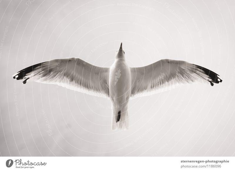 von unten Schwarzweißfoto Möwe fliegen fliegend Vogelflug Feder Flügel Himmel Froschperspektive Schnabel Tierfuß Freiheit Zukunft