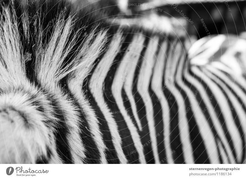 streifenhörnchen Tier Wildtier Zoo Streichelzoo füttern Zebra Streifen Schwarzweißfoto Haare & Frisuren Außenaufnahme Kontrast Schwache Tiefenschärfe