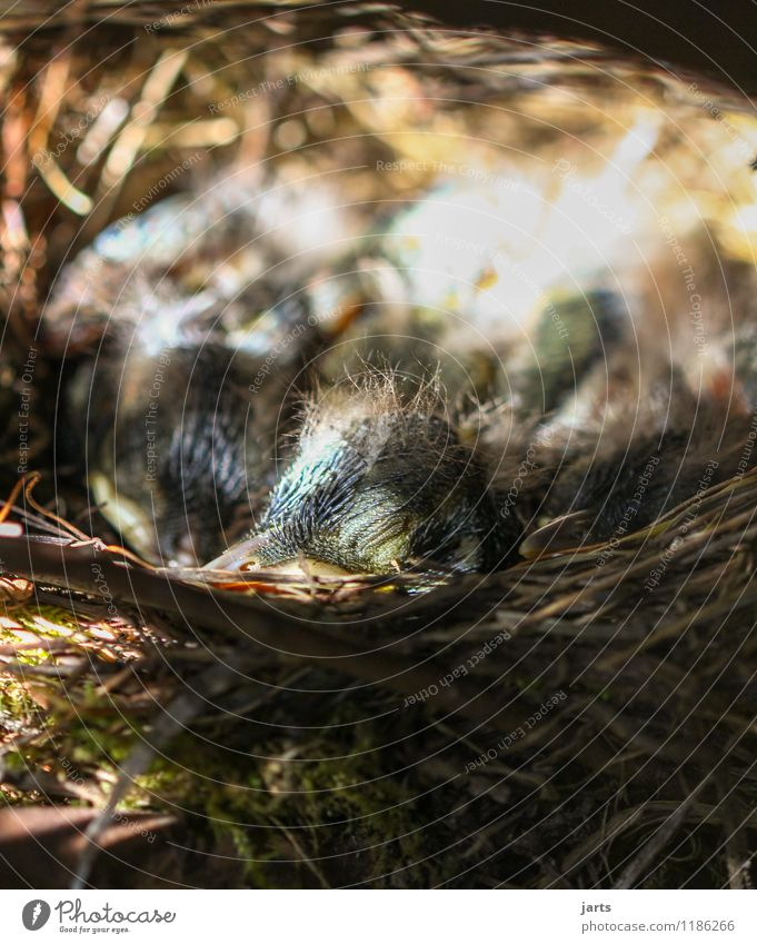 nickerchen Tier Wildtier Vogel 4 Tierjunges schlafen Schutz Tierliebe ruhig Natur Küken Amsel Nest Nestwärme Sicherheit Farbfoto Außenaufnahme Nahaufnahme