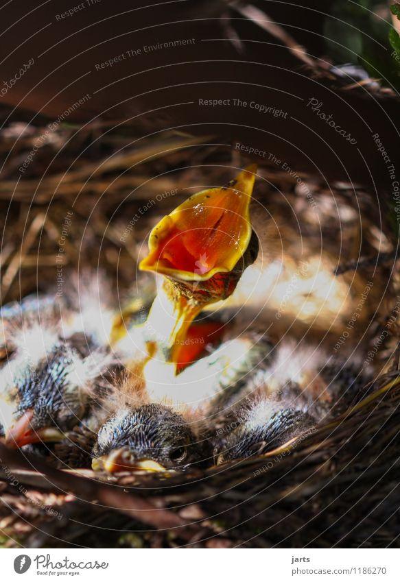 solo Pflanze Tier Frühling Schönes Wetter Wildtier Vogel 4 Tierjunges schreien Natur einzeln Amsel Küken Nest laut singen Hals Schnabel Farbfoto Außenaufnahme