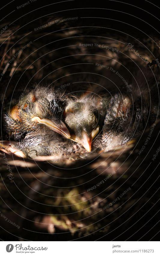 stille Tier Wildtier Vogel 4 Tierjunges schlafen nackt ruhig Natur Küken Amsel Nest Farbfoto Außenaufnahme Nahaufnahme Menschenleer Textfreiraum oben