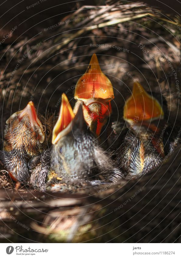 hunger Wildtier Vogel 4 Tier Tierjunges schreien Natur Küken Amsel Appetit & Hunger Schnabel Nest Familienglück Farbfoto Außenaufnahme Nahaufnahme Menschenleer