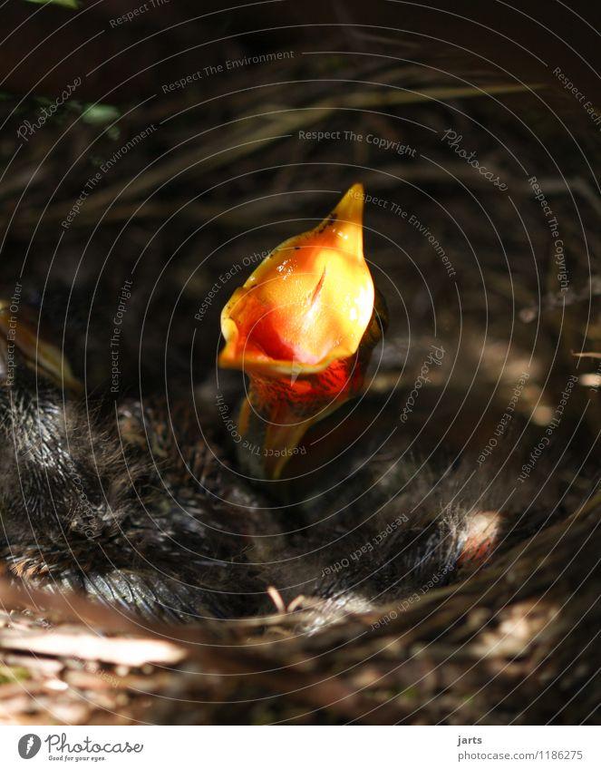 großmaul Tier Wildtier Vogel 4 Tierjunges füttern schreien Natur Appetit & Hunger Schnabel Hals Amsel Küken Nest Farbfoto Außenaufnahme Nahaufnahme Menschenleer