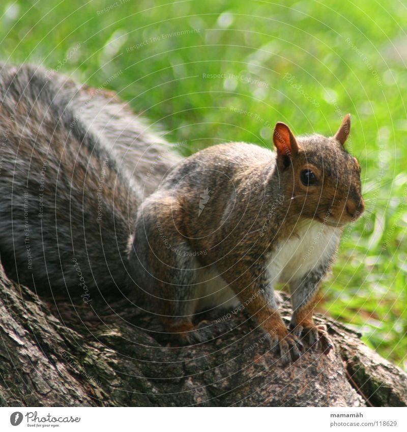 Lieblingstier: Eichhörnchen! Teil 4 Baum Auge Wiese Gras klein Park braun Nase Geschwindigkeit süß Ohr niedlich Fell frech Pfote Säugetier