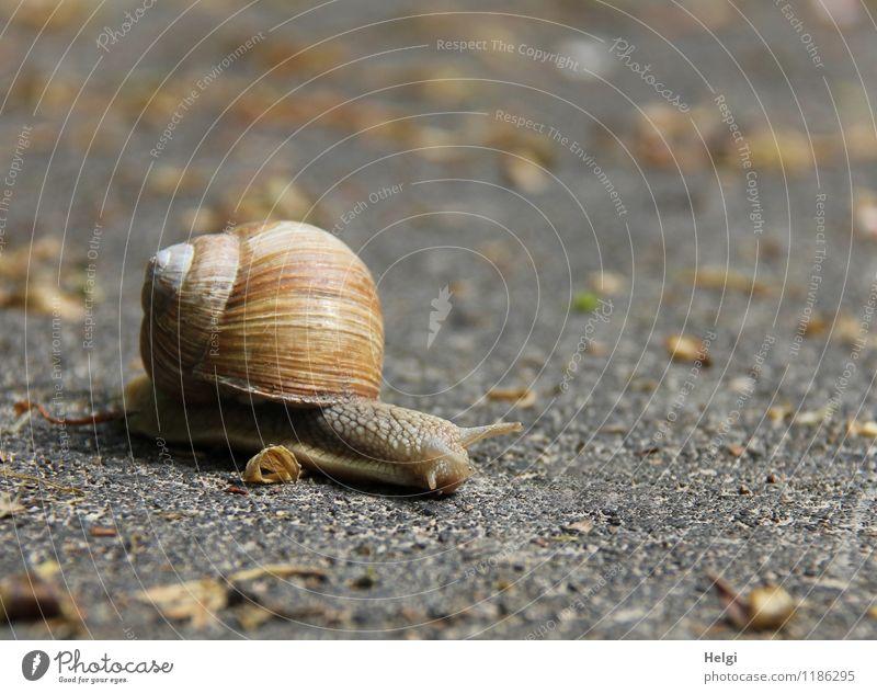 ein weiter Weg... Straße Tier Wildtier Schnecke Weinbergschnecken 1 Bewegung klein natürlich braun grau achtsam gefährlich Entschlossenheit Leben Natur Umwelt