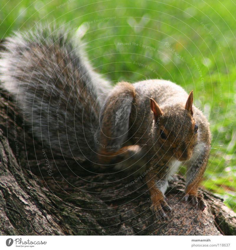 Lieblingstier: Eichhönchen! Teil 5 Eichhörnchen Pfote buschig süß klein niedlich Baum Wiese Gras Toronto Park Geschwindigkeit braun Fell Nagetiere Säugetier