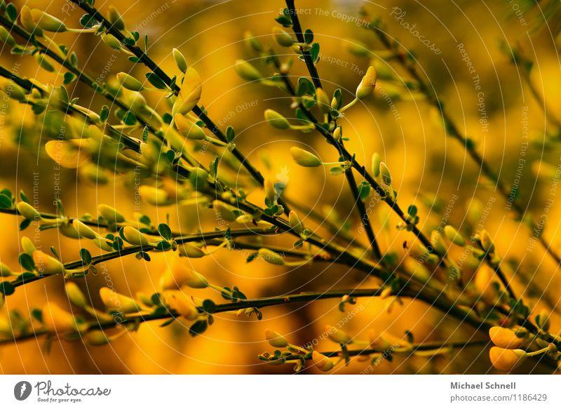 Ginster Natur Pflanze schön Umwelt gelb Frühling Blüte natürlich Gesundheit Glück Sträucher Wildpflanze