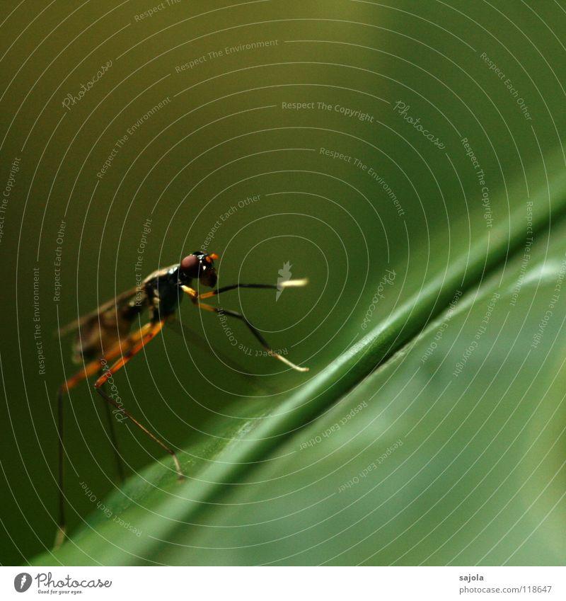 ne fliege! Tier Auge Kopf Beine Fliege Flügel Reinigen Asien dünn Insekt Urwald Pfote filigran Singapore Ganzkörperaufnahme