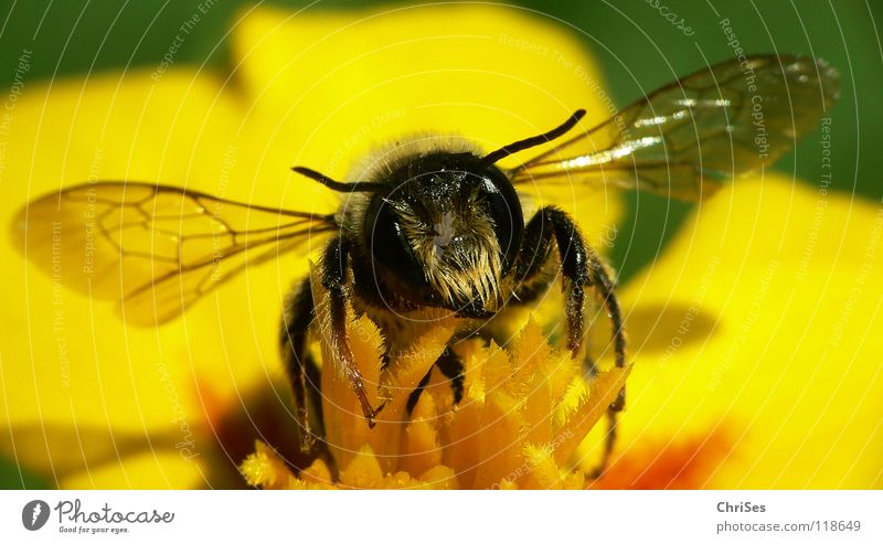 Erdbiene ( Andrena florea ) 05 Sandbiene Biene Wespen Insekt Honig fleißig gelb schwarz grün gestreift Sommer Frühling Fühler Tier Sammlung Nordwalde