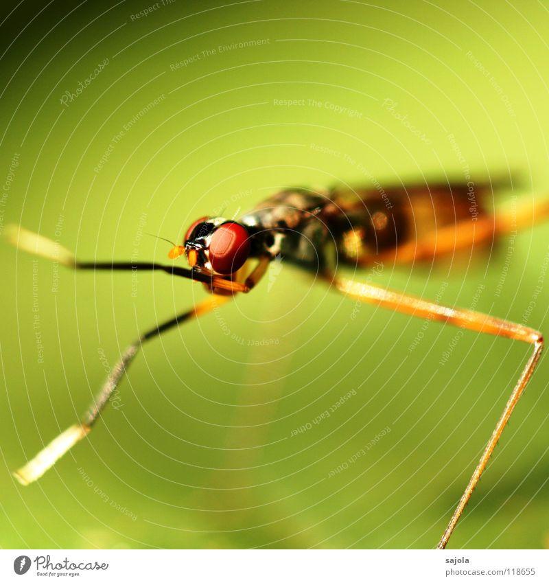 nochmals ne fliege! rot Tier Auge Kopf Beine Reinigen Asien dünn Insekt Urwald Pfote filigran Singapore