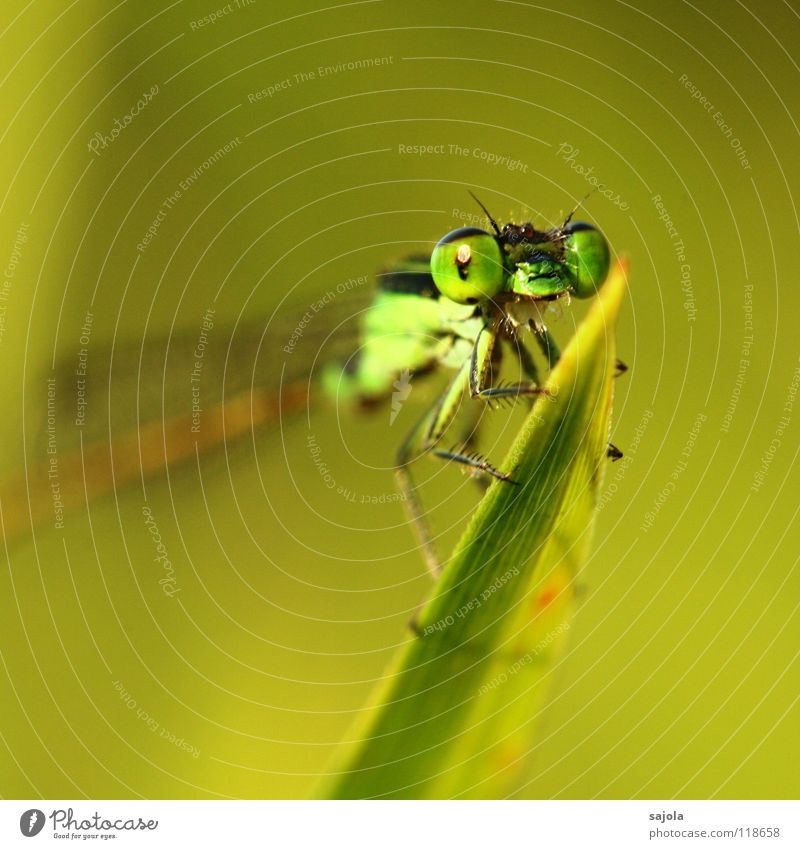 kleinlibelle Tier Wildtier Tiergesicht Flügel 1 beobachten Blick warten dünn grün Klein Libelle Facettenauge Auge Beine Pechlibellen Asien Singapore Kopf