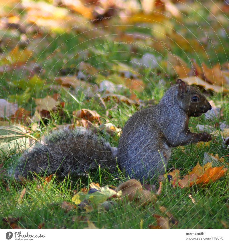 Lieblingstier: Eichhörnchen! Teil 6 Pfote buschig süß klein niedlich Baum Wiese Gras Toronto Park Geschwindigkeit braun Fell Nagetiere Säugetier squirrel