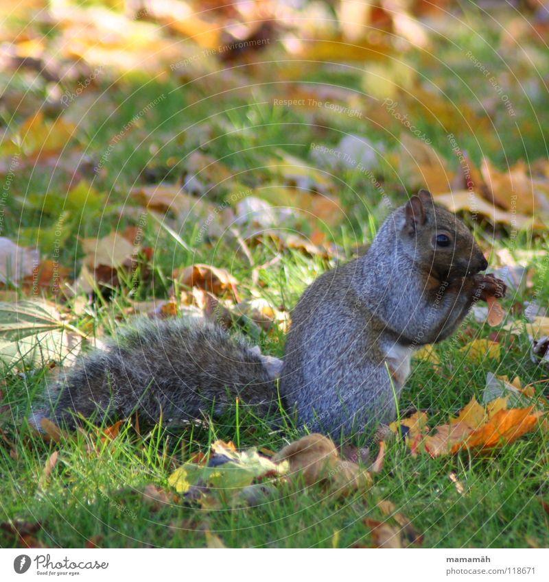 Lieblingstier: Eichhörnchen! Teil 7 Pfote buschig süß klein niedlich Baum Wiese Gras Toronto Park Geschwindigkeit braun Fell Nagetiere Säugetier squirrel