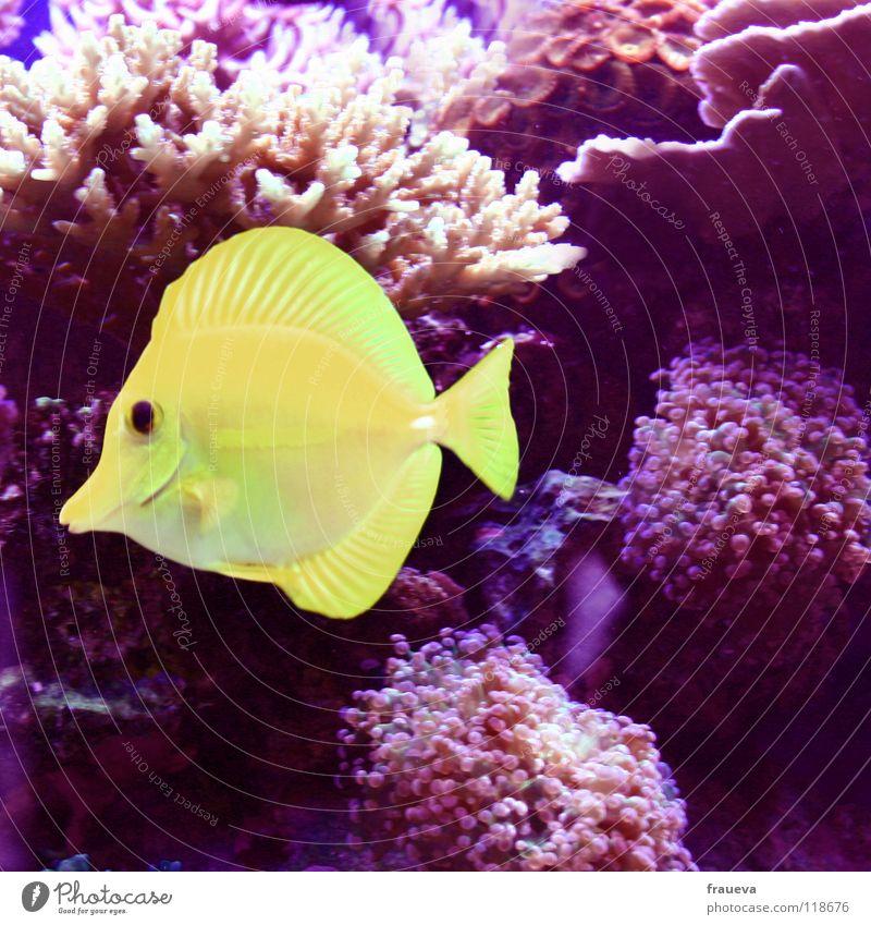 fisch Aquarium Meer gelb rot Algen Korallen Fisch Tier Pflanze fish Wasser Unterwasseraufnahme Scheune sea zitronenfisch Schwimmen & Baden