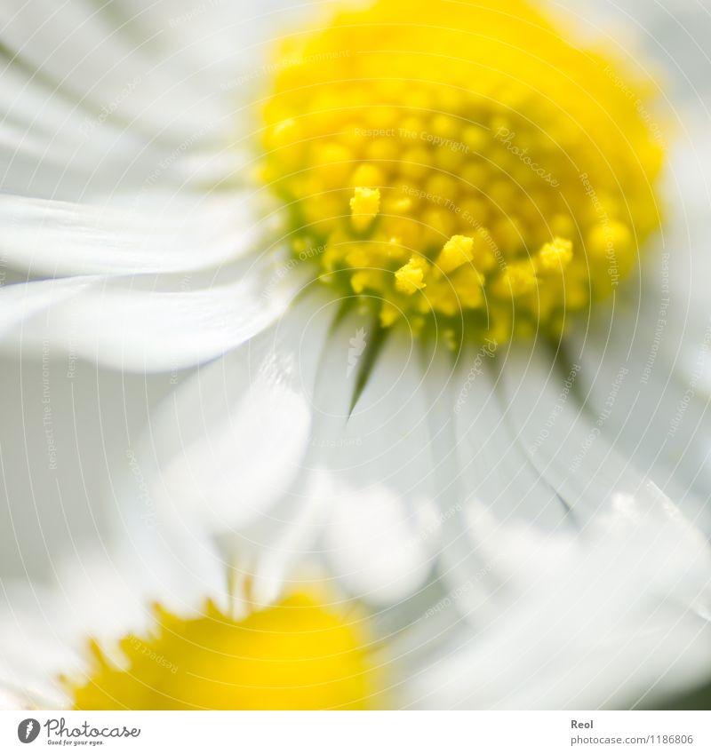 Gänseblümchen Natur Pflanze Frühling Sommer Schönes Wetter Blume Wildpflanze Wiese gelb weiß Lebensfreude Frühlingsgefühle Blütenblatt Makroaufnahme
