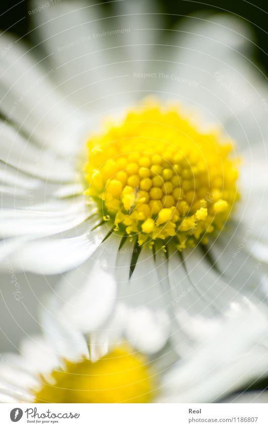 Gänseblümchen II Natur Pflanze Frühling Sommer Wiese Wachstum gelb weiß Frühlingsgefühle Blume Blütenblatt Blühend Wildpflanze Blumenwiese Lebensfreude