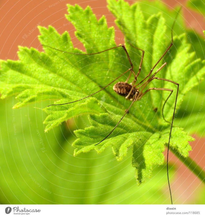 Opilio Natur grün Pflanze Tier Umwelt Wiese Garten Beine Park Angst Spinne krabbeln Grünpflanze Biotop Laubwald Gliederfüßer