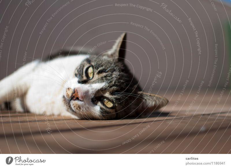 Urlaubskatze Katze Sommer Erholung Tier Wärme liegen träumen Wohlgefühl Sonnenbad mediterran Mallorca Haustier Holzfußboden Dachterrasse