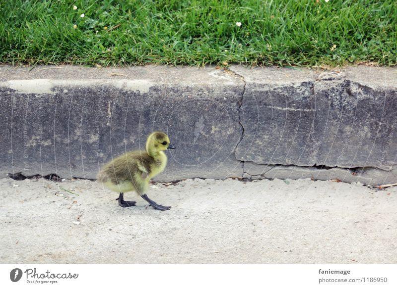 chick walk schön grün Tier gelb Wand Wege & Pfade klein grau Garten braun gehen Vogel Park wandern laufen niedlich