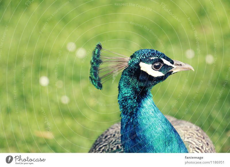 le plus beau du quartier Natur Park Wiese Tier Vogel blau grau grün weiß Pfau eitel hellgrün Metallfeder Kopfschmuck Feder türkis Stolz stolzieren Blauton