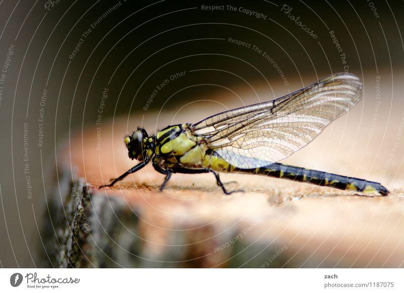 Mittagspause Pflanze Baum Baumstumpf Baumstamm Wald Tier Wildtier Insekt Libelle Libellenflügel 1 fliegen sitzen Flügel Farbfoto Außenaufnahme Makroaufnahme
