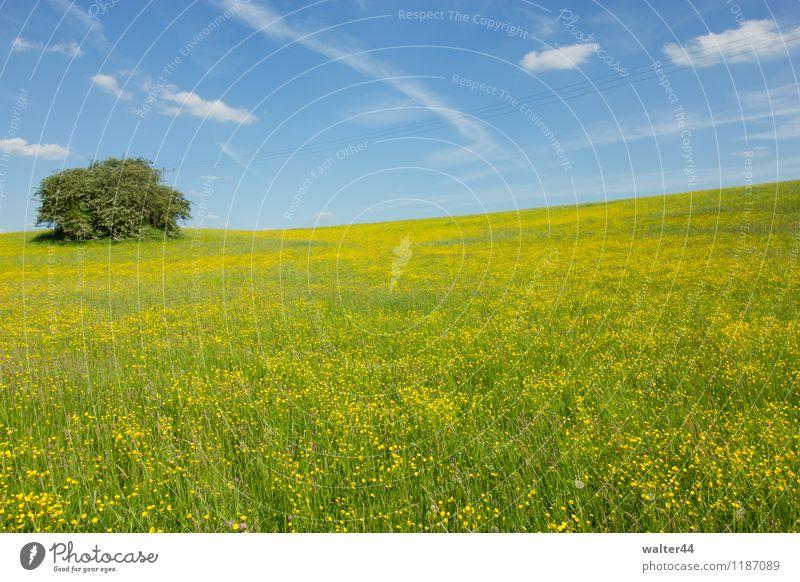 Gelbes Meer Natur Landschaft Pflanze Himmel Wolken Sonnenlicht Frühling Schönes Wetter Wärme Baum Blume Gras Nutzpflanze Wildpflanze Wiese Hügel Menschenleer