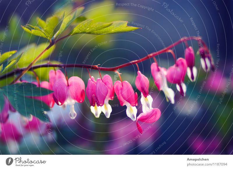 ::15-21:: Umwelt Natur Landschaft Pflanze Tier Frühling Sommer Baum Blume Sträucher Blatt Blüte Grünpflanze Garten Park Wiese Duft Tränendes Herz herzförmig