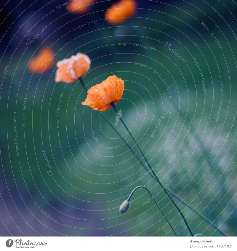 ::15-19:: Umwelt Natur Pflanze Frühling Sommer Klima Wetter Blume Blüte Wildpflanze Garten Park Wiese Feld Duft Mohn Mohnblüte orange Trauer Tod Hochzeit